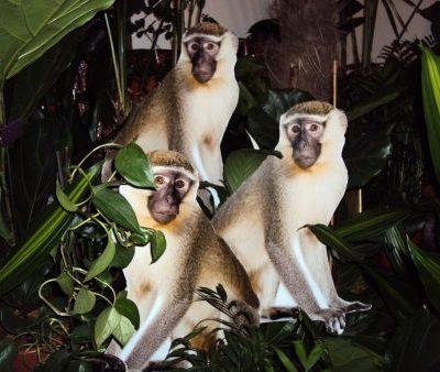 Pērtiķi (DZ03) Monkeys for rent Обезьяны