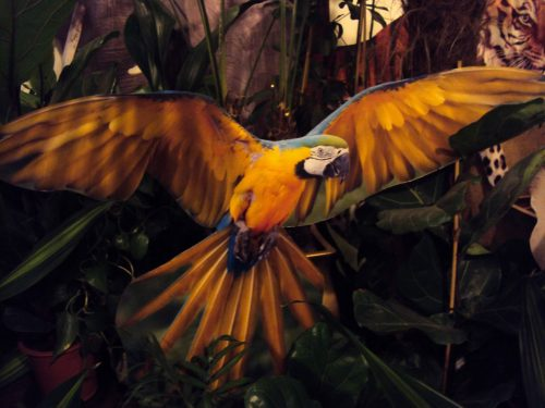 Papagailis (DZ06) Parrot (DZ06) for rent Попугай (DZ06)