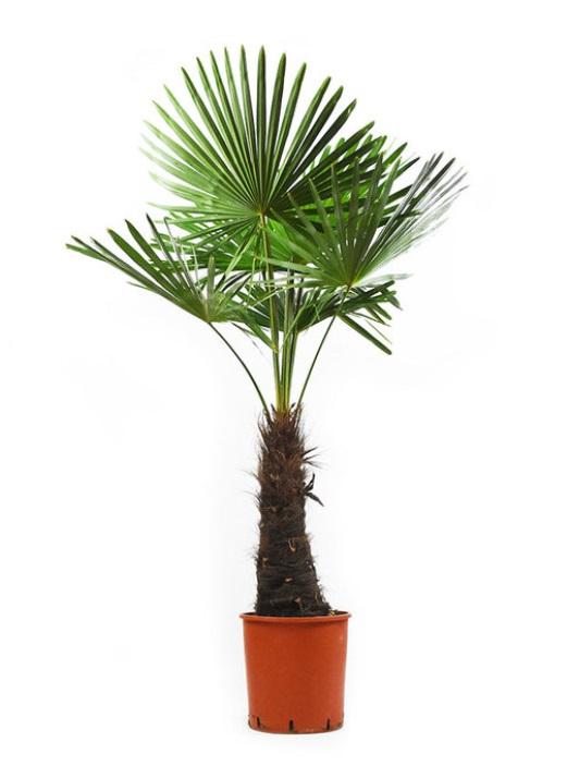 Palma (Tranchycarpus fortunei) Пальма - Трахикарпус Palm tree