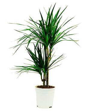 Telpaugs - dracēna Комнатное растение - Драцена Indoor plant - Dracaena