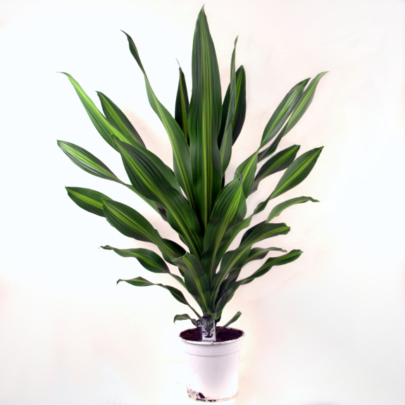 Telpaugs - dracēna (Dracaena Curry) Комнатное растение - Драцена Indoor plant - Dracaena