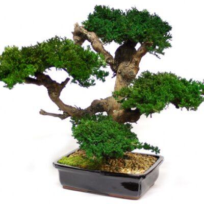 Telpaugs - Bonsai koks Комнатное растение - дерево Бонсай Indoor Plant - Bonsai Tree