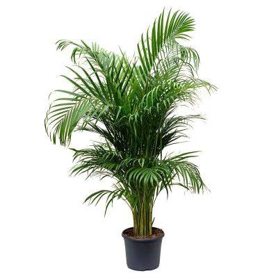 Arekas palma Betelnut Palm Бетелевая пальма