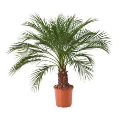 Palma (Phoenix roebelenii) Пальма - Финик Робелена Palm tree