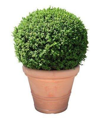 Telpaugs - buksis Комнатное растение - самшит Indoor plant - Buxus