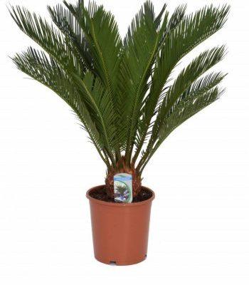 Telpaugs - cika (Cycas revoluta) Комнатное растение - цикас Indoor plant