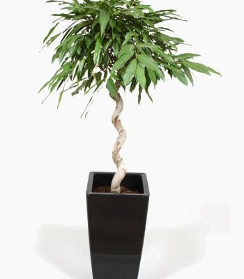 Telpaugs - fikuss (Ficus Amstel King) Комнатное растение - фикус Indoor plant - Ficus