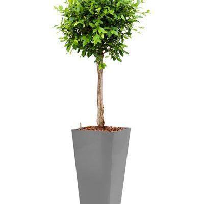 Telpaugs - fikuss (Ficus Nitida) Комнатное растение - фикус Indoor plant - Ficus