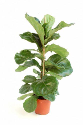Telpaugs - fikuss (Ficus Lyrata) Комнатное растение - фикус Indoor plant - Ficus
