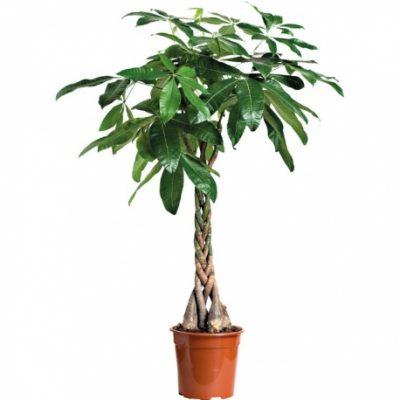 Telpaugs - pachira augu noma zaļumu noma Комнатное растение - Пахира Indoor plant - pachira