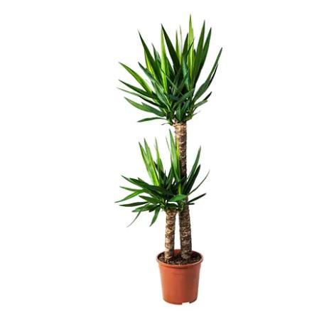 Telpaugs - juka (Yucca) Комнатное растение - Юкка Indoor plant - Yucca augu noma, koku noma, telpaugu noma