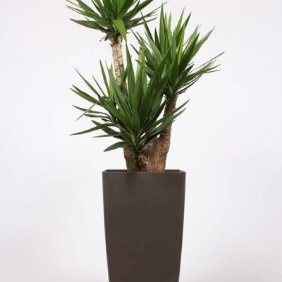 Telpaugs - juka (Branched Yucca) Комнатное растение - Юкка Indoor plant - Yucca
