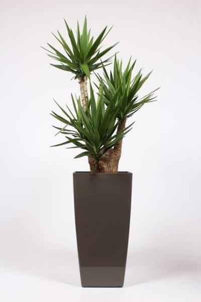 Telpaugs - juka (Branched Yucca) Комнатное растение - Юкка Indoor plant - Yucca