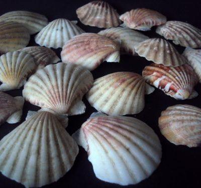 Gliemežvāki (DEK26) Shells Ракушки