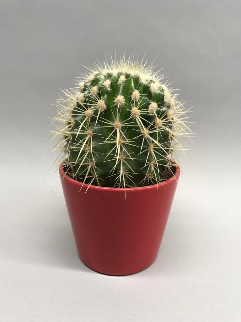 Kaktuss Кактус Cactus