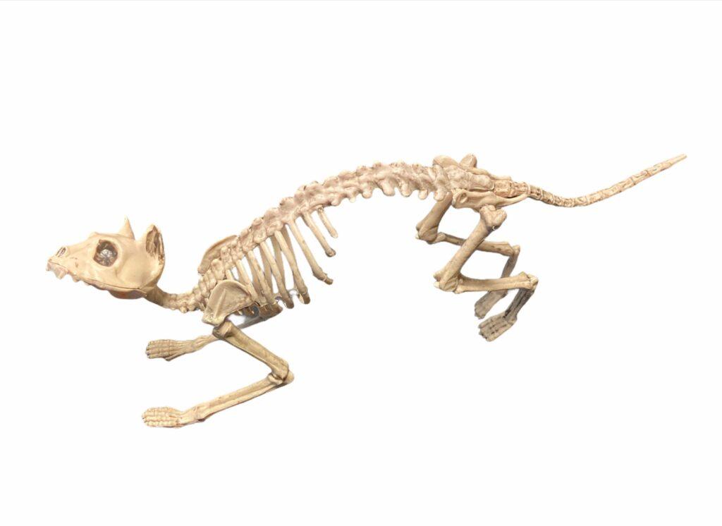 Kaķa skelets